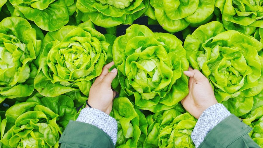 Lettuce_nutritional_therapy